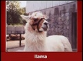 The Llama Song - llamas screencap