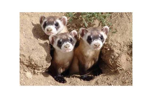 Three blackfooted tọc mạch, chồn, ferret kits