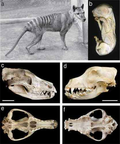 Thylacine skull and skeleton