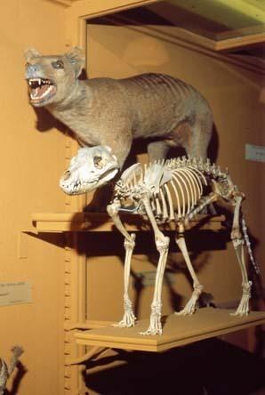 Thylacine skull and skeleton