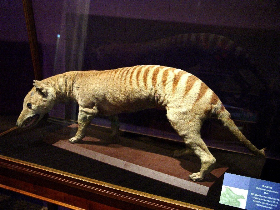 Thylacine images Thylacine HD wallpaper and background photos ...