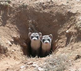 Two black footed ferrets exploring outside their burrow