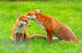 baby and mother fox - fox photo