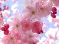 facebook - Cherry Blossom wallpaper