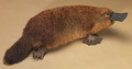 Chippington the Platypus - platypus photo