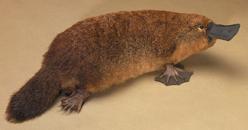 Chippington the Platypus