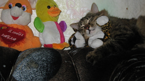 My cat Mur sleep with Toys .. he like it...
