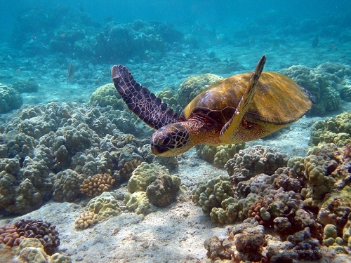 Sea черепаха