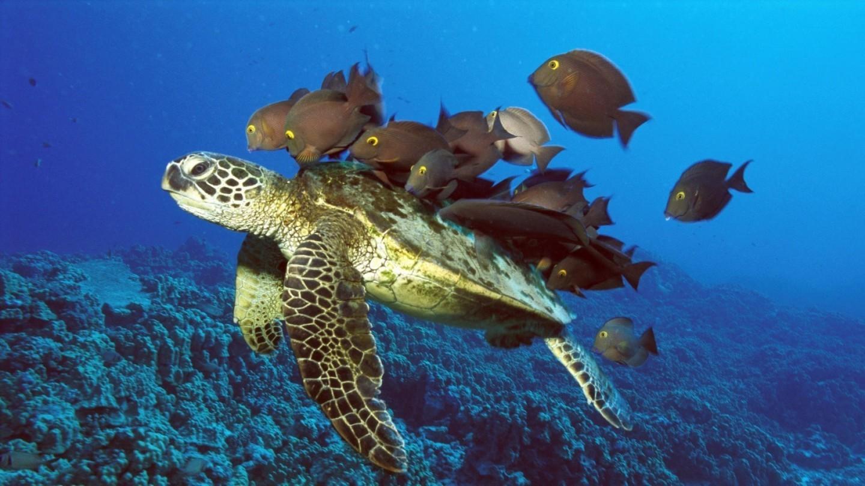 Sea Turtle wallpaper