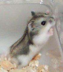 dwarf hamsters