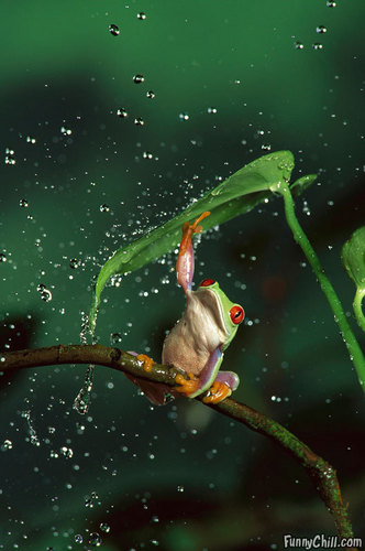 green frogs :)