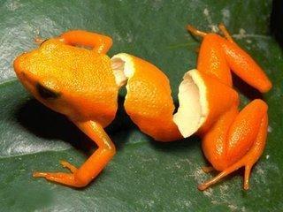 مالٹا, نارنگی frogs