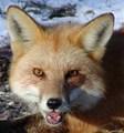 A smiling fox