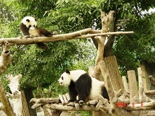 Pandas wallpaper entitled Precious Pandas