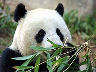 Pandas wallpaper titled Precious Pandas