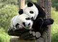 Precious पांडा