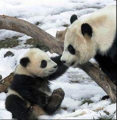 Pandas wallpaper called Precious Pandas