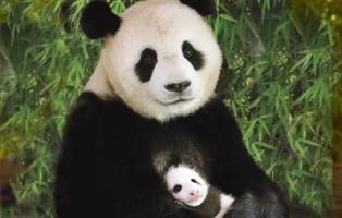 Precious パンダ