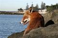 Sea Fox