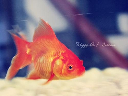 ♥Nat the goldfish♥