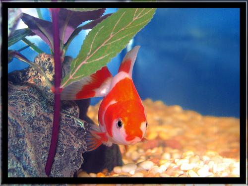 Nat the goldfish