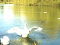 Swan's wings - photography photo