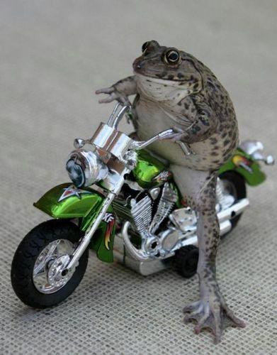 Frog on motorbike