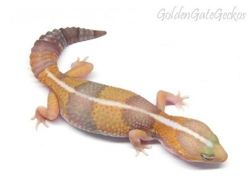 albino morph of a leopard 도마뱀 붙이, 게코, 게 코