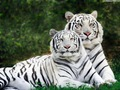 White Tigers - peterslover wallpaper