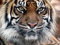 Indian Tiger - peterslover wallpaper