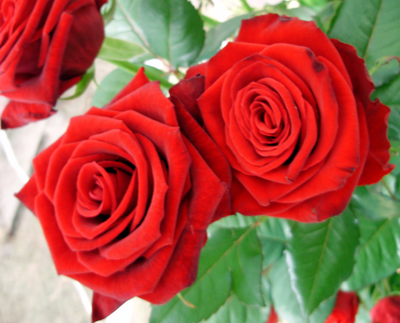 roses - photo #7