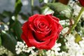 Blood Red Rose !