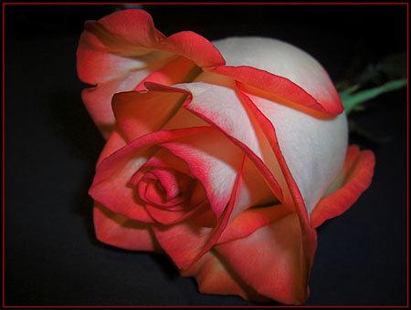 Rose !