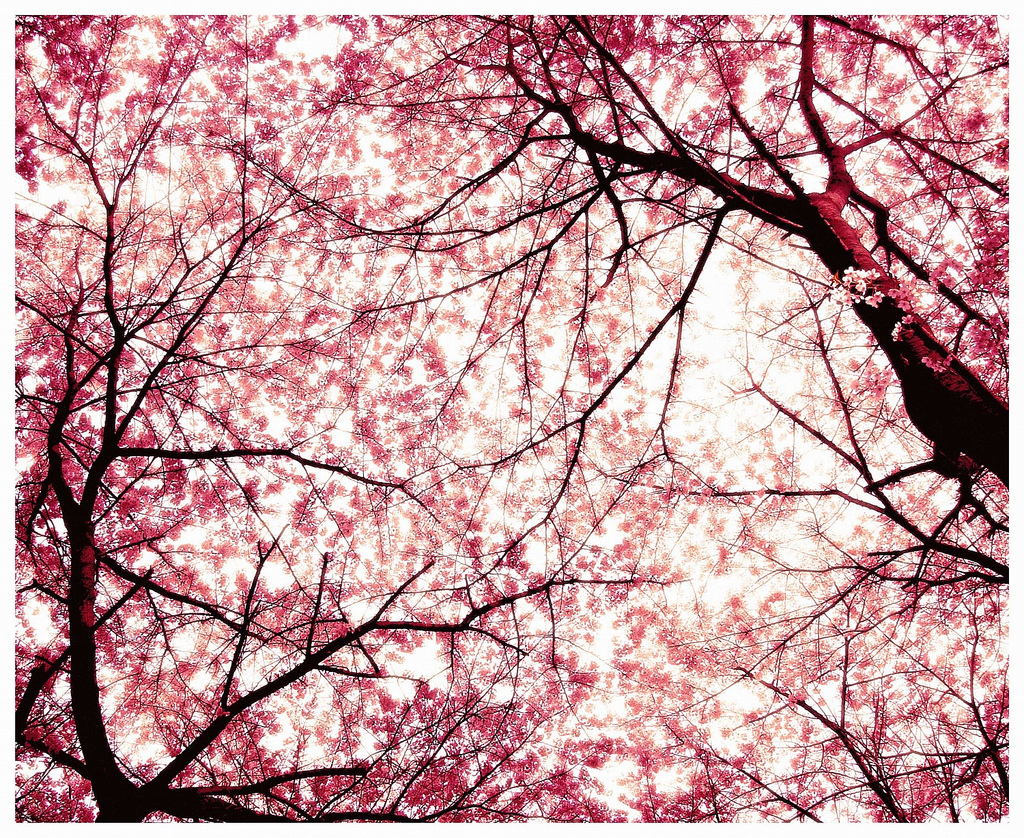 Japanese cherry tree sakura images sakura hd wallpaper Japanese cherry blossom tree