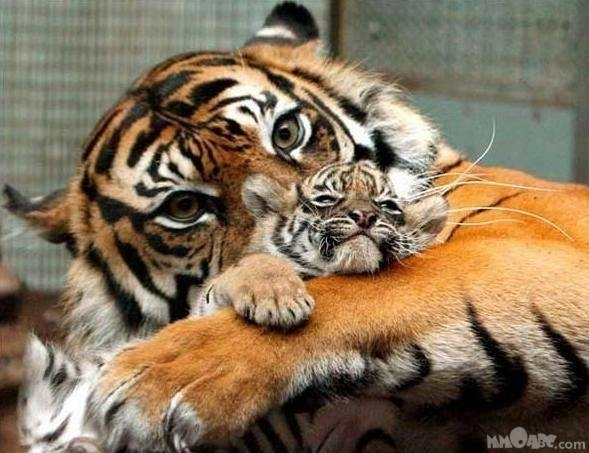 Tigers TIGER AND CUB