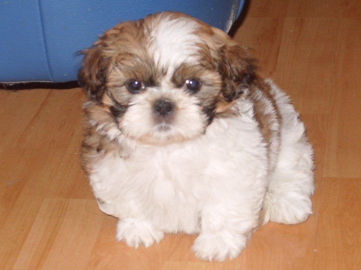 Shih Tzu Images Bella Hd Wallpaper And Background Photos 11484125