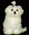 Maltese Собаки