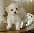 Maltese Anjing