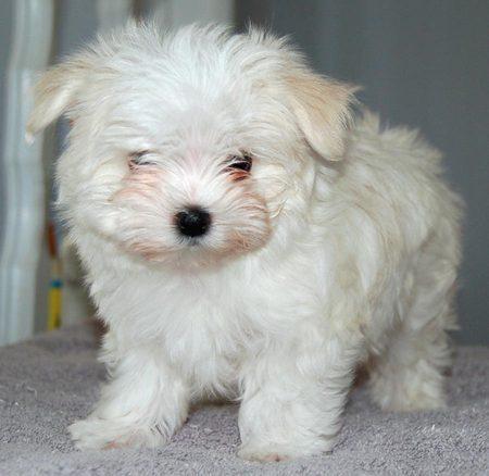 Maltese perros