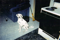 My Dog Tiffer R.I.P - dogs photo