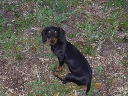 My dog little bit as a cucciolo