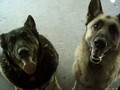 Raven and Schrader - german-shepherds photo