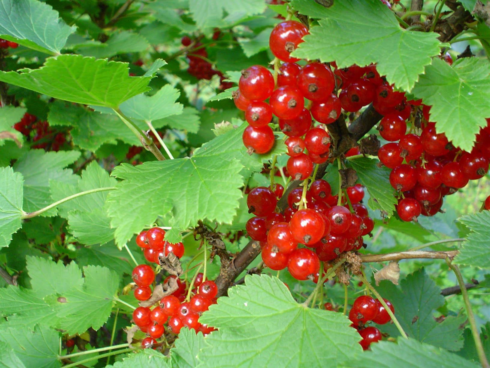 Red buah-buahan