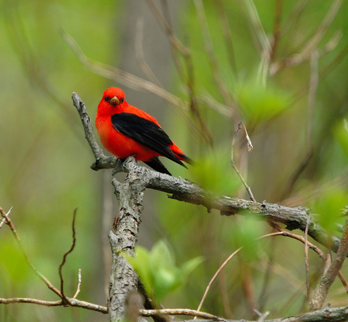 Red 바탕화면 titled Scarlet Tanager
