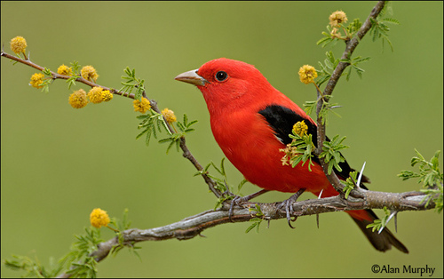 Red Hintergrund called Scarlet Tanager