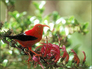 Red Hintergrund titled The Hawaiian Liwi Bird