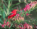The Hawaiian Liwi Bird - red photo