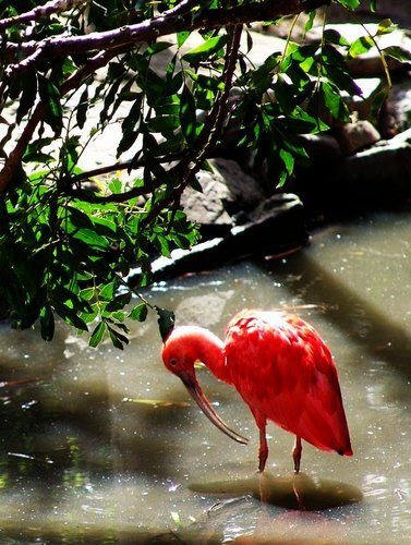 Red Hintergrund titled The Scarlet ibis