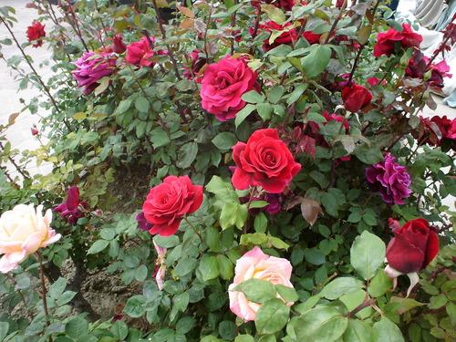 Neighborhood hoa hồng