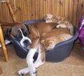 Three in a bed ! - dogs photo